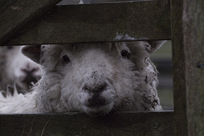 Sheep at gate, Kingcombe, Dorset