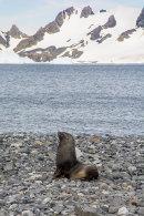 Fur Seal002