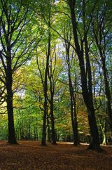 Autumn Beeches III