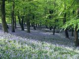 Bluebells and beech trees, the Wenallt, Cardiff