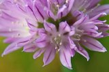 Chive flower head