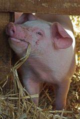 One content piglet