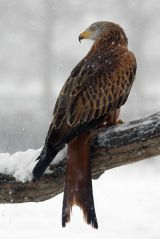 Red Kite in the snow II