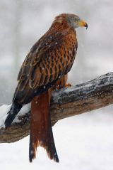 Red Kite in the snow