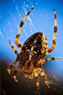 Common Garden Spider (Araneus diadematus)