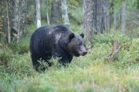 BEARS IN ESTONIA