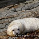 Atlantic Grey Seal Pup, Cwm Tudu (01)
