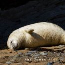 Atlantic Grey Seal Pup, Cwm Tudu (03)
