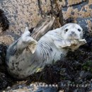 Atlantic Grey Seal Pup off Gwbert (02)