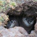 Magellanic chicks