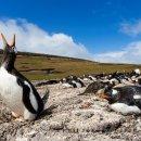 Gentoo Penguin, Saunders