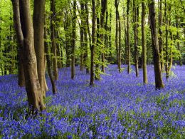 Coed Cefn Bluebell Wood.