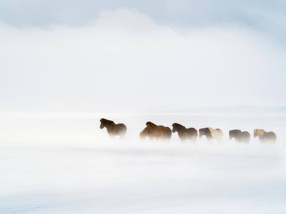 Horses In The Storm-Iceland
