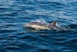 Dolphin 3934