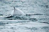 Fin Whale 6733