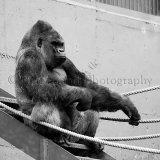Gorilla 0917
