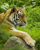 Tiger 0947