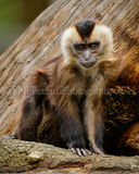 Baby Lion Tailed Macaque 7399