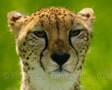 Cheetah 7658