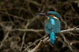 Kingfisher 0959