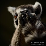 Ring Tailed Lemur 7511