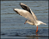 Black Headed Gull 9837
