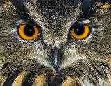 Eagle Owl 0522