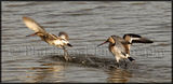 Fighting Black Tailed Godwits 9977