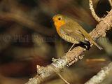 Robin 2840