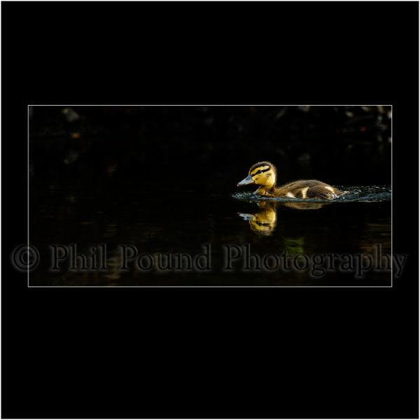 Duckling 6130