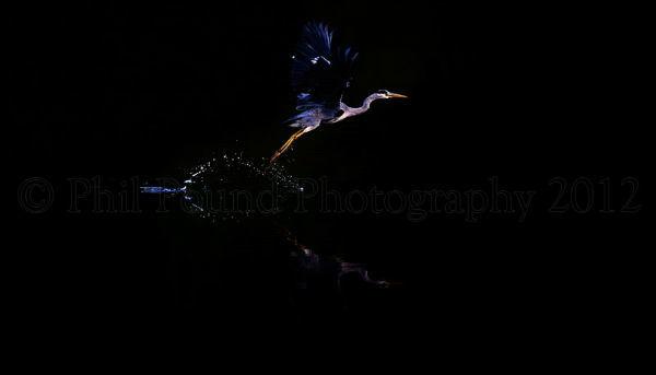 Heron takes flight at Twilight