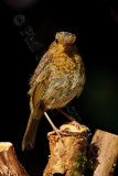 Robin 0875