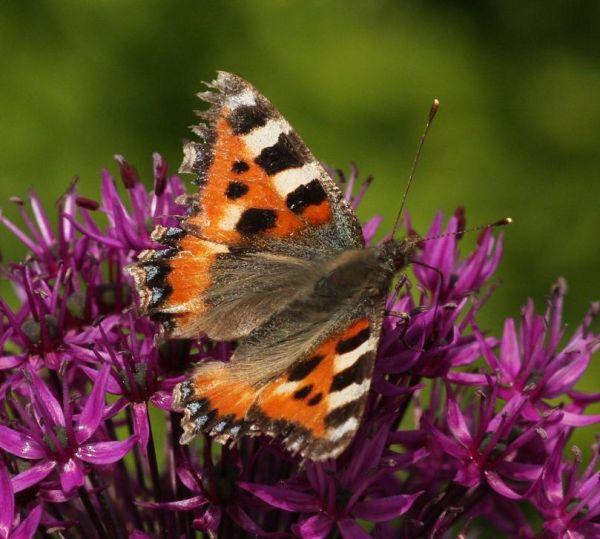 Butterfly 7.5.11