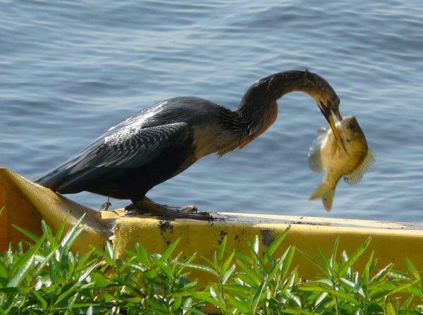 Cormorant with breakfast