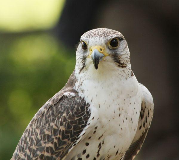 Falcon (1)