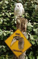 Barn Owl comic