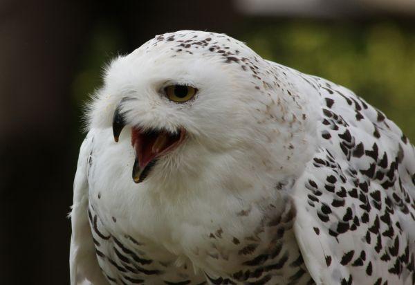 Snowy Owl (3)