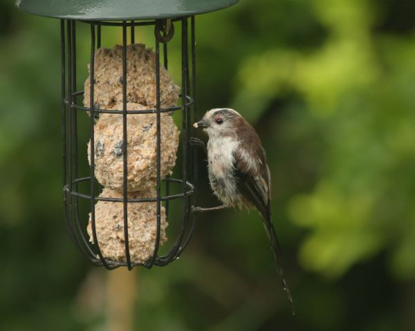 LongTailed Tit (2)