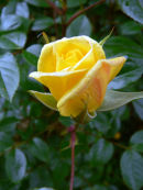 Yellow Rose (1)