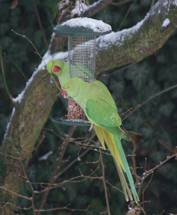Wild parrots in the snow (2)