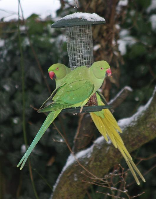 Wild parrots in the snow