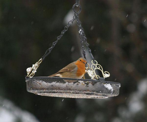 Swinging Robin
