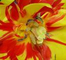 Tulip (2) 30.3.12