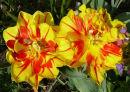 Tulips (1) 30.3.12