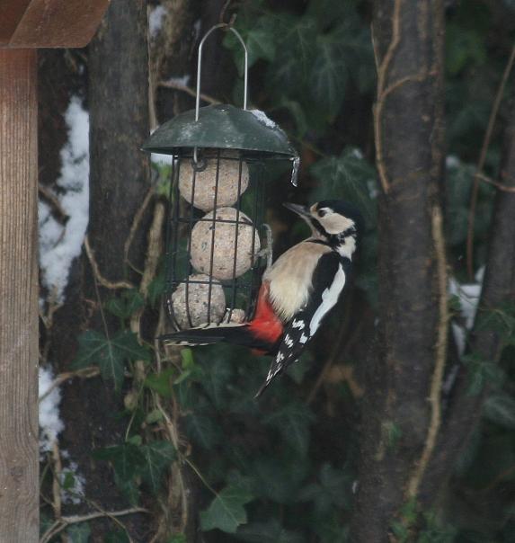 Woodpecker in ths snow