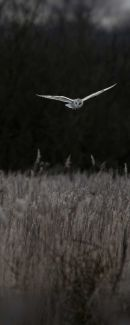 Nature in action - Barn Owl