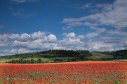 Watlington Poppies