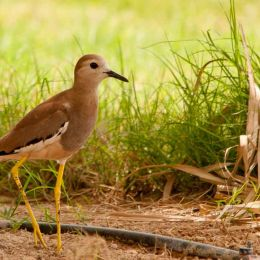 White tailed Plover