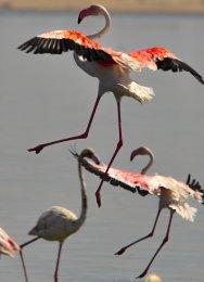 Greater Flamingos at Al Wathba