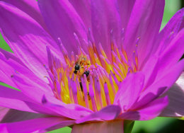 Lotus flower with insects